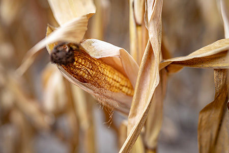 Corn harvest destroyed by drought